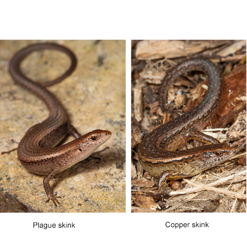 Plague skink other 4sq