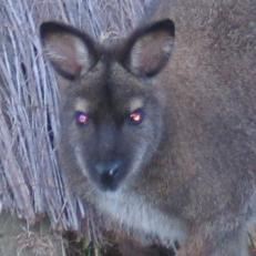Bennetts wallaby other eyesq