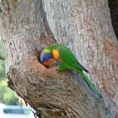 Rainbow lorikeet nest 1sq