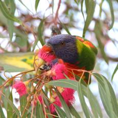Rainbow lorikeet veg 2sq