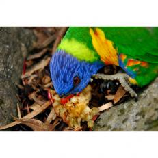 Rainbow lorikeet veg 3sq