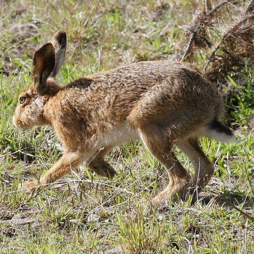 Brown hare 4 sq