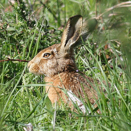 Brown hare 7sq