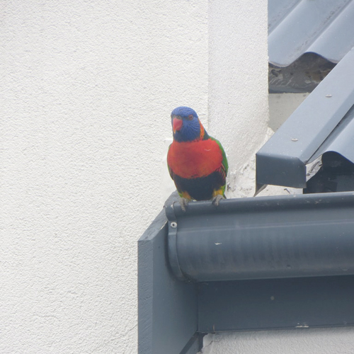 Rainbow lorikeet 5 sq