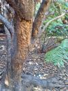 Possum bark damage fivefinger tree 650
