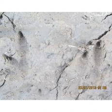 Bennetts wallaby tracks 4sq