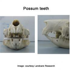 possum other teeth sq