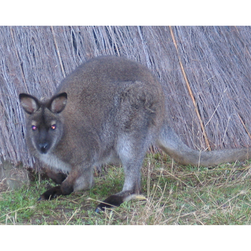 Bennetts wallaby 2sq