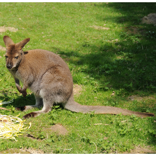 Bennetts wallaby 3sq